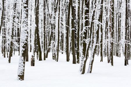 Frozen trees in winter beech forest photo