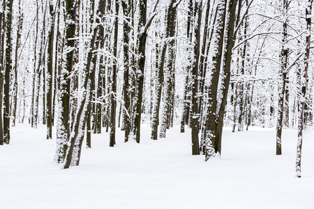 hoar: Snow covered beech trees in winter forest Stock Photo