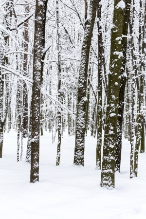 Beech trees in snow covered winter forest photo