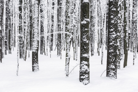 hoar: Snow covered beech forest in winter Stock Photo