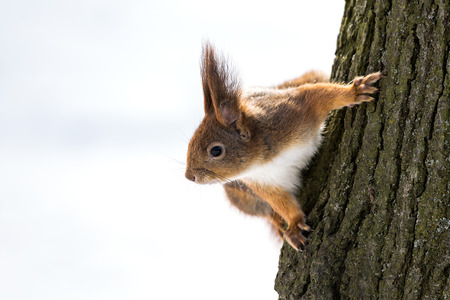 Curious red squirrel on tree trunk  photo
