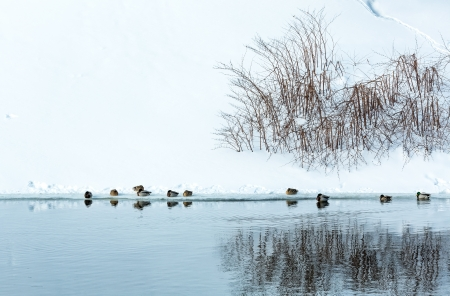 Mallard ducks on lake in winter photo