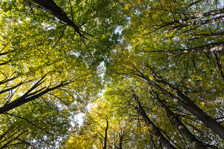 Looking up in a beech tree forest in autumn photo