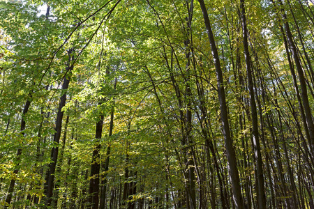 Autumnal landscape with deciduous beech trees in forest photo