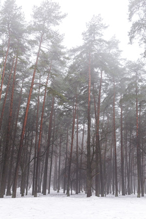 Mysterious pine woods in winter foggy morning photo