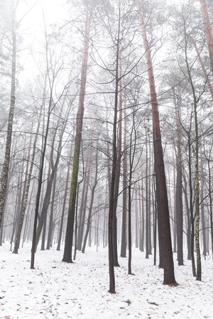 Winter landscape of mixed forest with fog photo