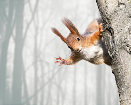 cute red squirrel sitting on tree trunk on blurred forest background