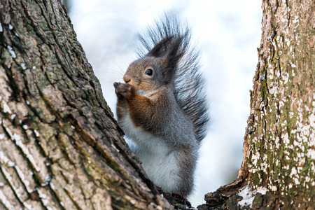 bushy: red squirrel with bushy tail eating a nut in winter park