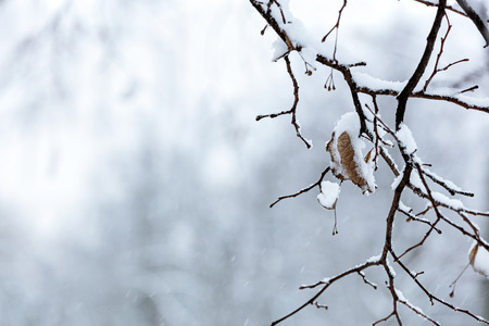 freeze dried: dry leaf on bare tree branch at winter season