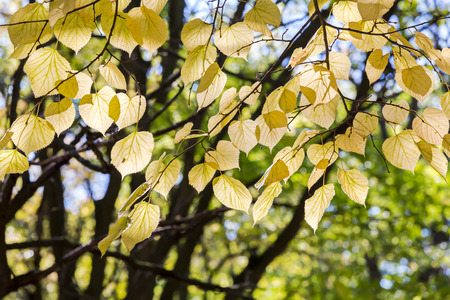yellow leaves on bare branches of beech tree in autumn