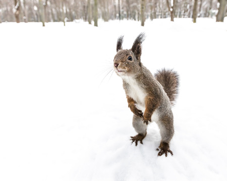 curious squirrel standing on hind feet searching for snack on soft snowy background