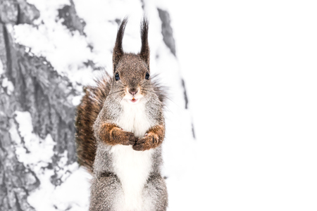 fluffy cute red squirrel standing on snowy tree trunk in winter forest and looking in camera
