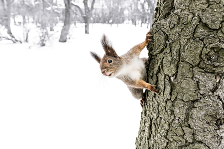 cute little red squirrel sitting on tree trunk in winter forest, seeks for quick meal