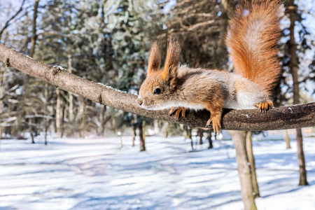 funny red squirrel reaches after snack on blurred winter forest background