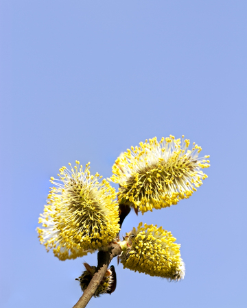 catkins: willow catkins against clear blue sky, closeup view