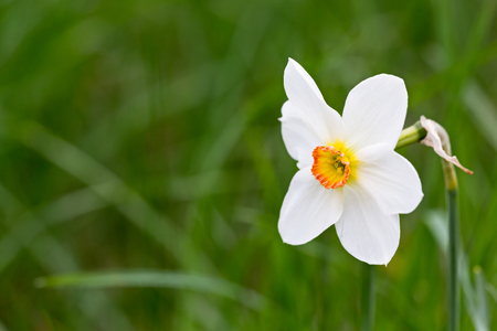 white fresh daffodil on blurred green grass background closeup Reklamní fotografie - 72999055