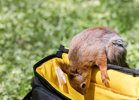funny red squirrel looking into camera bag in search for food in city park
