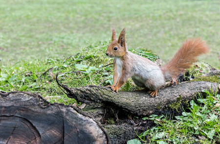 fluffy red squirrel sitting on old tree log in forest on green grass background Stock Photo