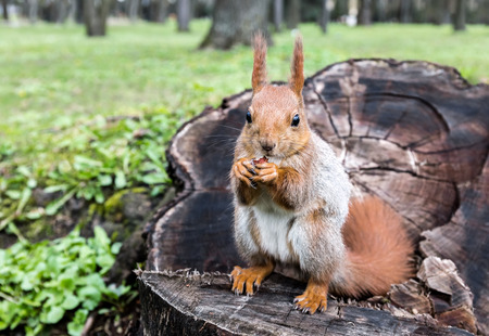 small red squirrel sitting on stump of tree with nut in park. closeup view. Stock Photo