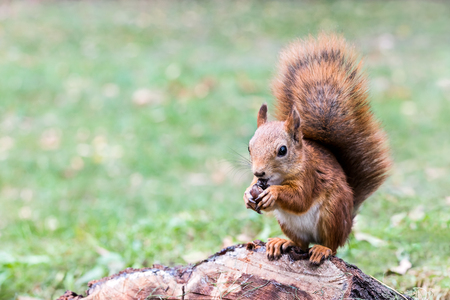 young eastern fox squirrel with fluffy tail sitting on tree stub in forest, eats nut