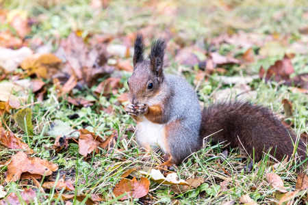 red squirrel sitting on ground with autumnal dry leaves and eating nut