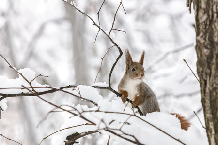 curious young squirrel sitting on tree branch covered with snow on blurred winter park background