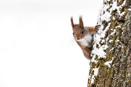 curious squirrel searching for food sits on tree trunk on white snow background