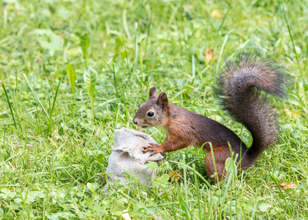 little red squirrel searching for food in the sackcloth bag with nuts