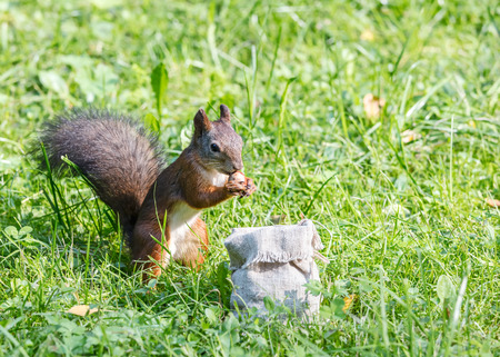 young red squirrel standing in green grass and eating nut from sackcloth bag