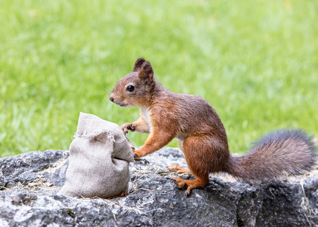 hungry squirrel sitting on stone in green grass and stealing nuts from sackcloth bag