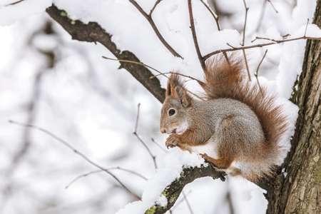 red squirrel sitting on tree branch and eating nut closeup. winter park scene background