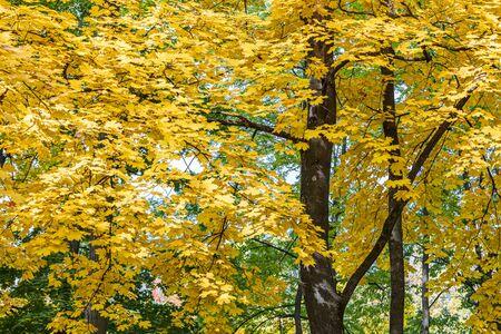 Ahornbaumkronen mit goldenem Laub vor blauem Himmelshintergrund. Detailansicht der herbstlichen Bäume Standard-Bild