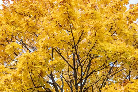 maple tree branch with bright gold foliage against blue sky background. closeup view