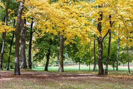trees with bushy foliage of gold color growing in park in autumn. picturesque park landscape in autumn