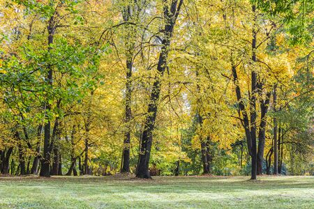 beautiful park landscape with tall trees. bright gold foliage on trees in sunny autumnal day
