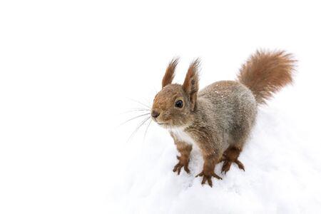 neugieriges kleines rotes Eichhörnchen, das im weißen Schneehintergrund sitzt Standard-Bild
