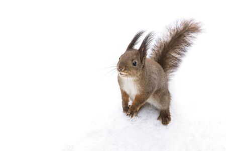 curious little squirrel standing in snow in park and searching for food