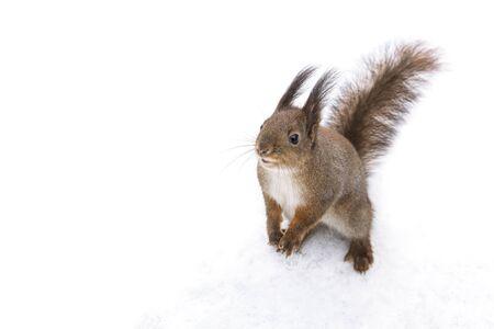 Neugieriges kleines Eichhörnchen, das im Park im Schnee steht und nach Nahrung sucht?