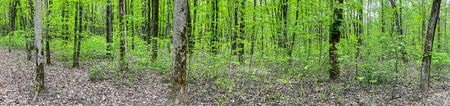 deciduous forest with fresh green foliage at spring time. panoramic landscape
