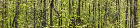 panoramic view of green deciduous forest in spring time. beech forest landscape at sunny day