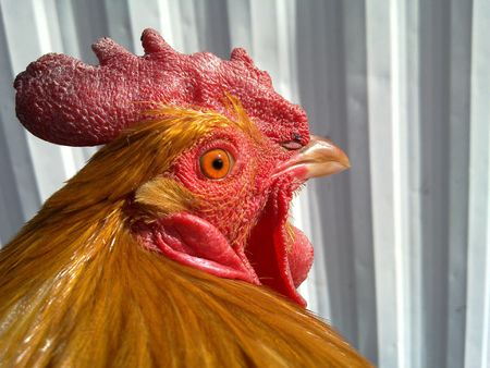Red Crested Brown Rooster