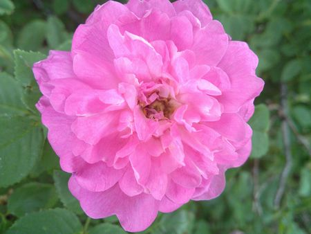 Large Pink Peony Flower Banco de Imagens - 7115802