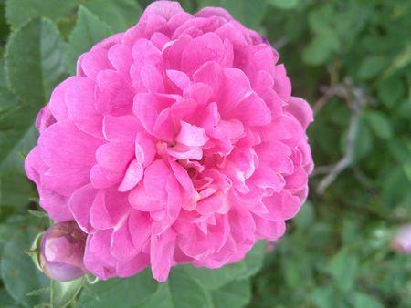 Pink Peony Flower Banco de Imagens - 7115800