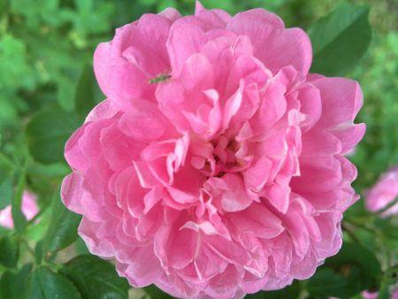 Pink Peony Flower Bloom Banco de Imagens