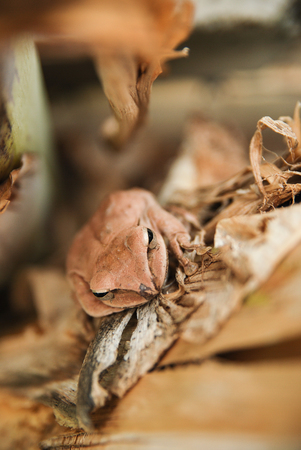 glandular: Close up and focus Shrub frog, Polypedates leucomystax, Tree frog  type of fog in nature Stock Photo