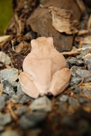 glandular: Close up and focus Shrub frog, Polypedates leucomystax, Tree frog  type of fog in nature Stock Photo