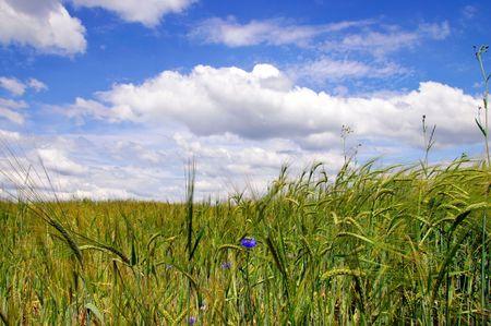 appease: appease summer day belorussian landscape of wheat field