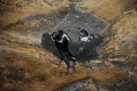 swallow bird: little swallow is feeding her nestlings in the cave Stock Photo