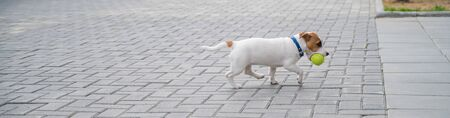 Purebred smooth-haired puppy Jack Russell Terrier plays on the street. Joyful little dog companion runs and jumps for a tennis ball. Active four-legged friend.