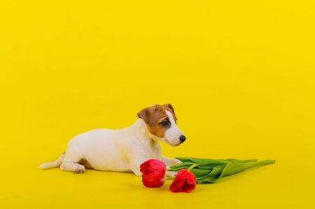 A small purebred dog lies next to a bunch of red tulips in the studio on a yellow background. Puppy Jack Russell Terrier congratulates women on the eighth of March and gives a bouquet of flowers.